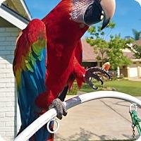 Adopt A Pet :: Rojo - Fountain Valley, CA