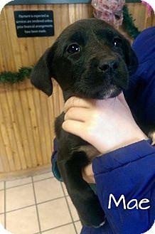 Labrador Retriever Mix Puppy for adoption in Cranford, New Jersey - Mae