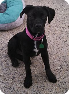 Rottweiler/Labrador Retriever Mix Dog for adoption in Woodlyn, Pennsylvania - Mae