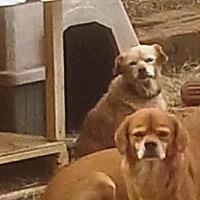 Spaniel (Unknown Type) Mix Dog for adoption in San antonio, Texas - Emmy