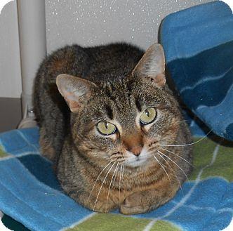 Domestic Shorthair Cat for adoption in Gaylord, Michigan - keriann