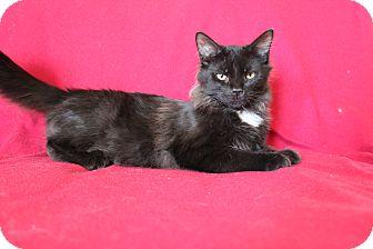 Domestic Mediumhair Kitten for adoption in New Port Richey, Florida - Harley