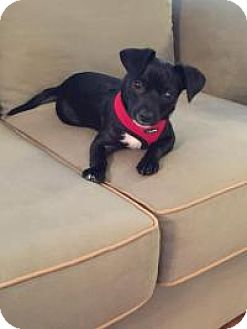 Chihuahua Mix Puppy for adoption in Marlton, New Jersey - Nate