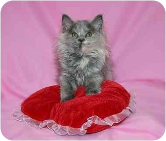 Domestic Longhair Kitten for adoption in Ladysmith, Wisconsin - C5556