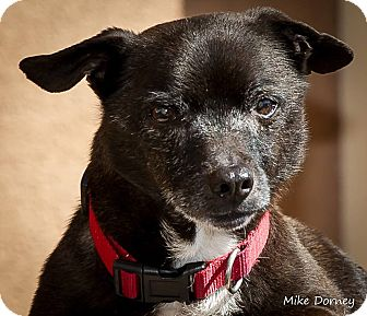 Chihuahua Mix Dog for adoption in Westminster, California - Scooby Doo