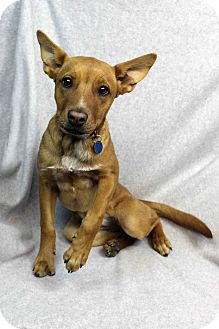 Retriever (Unknown Type) Mix Dog for adoption in Westminster, Colorado - Sugar