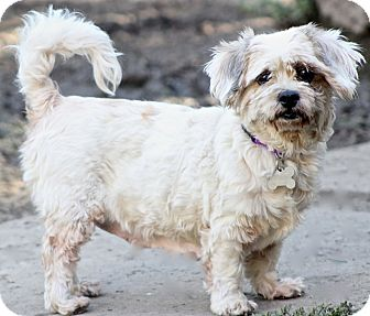 Shih Tzu Mix Dog for adoption in Bedminster, New Jersey - Spots