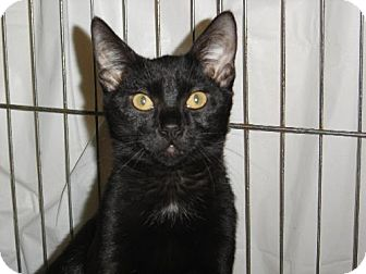 Domestic Shorthair Cat for adoption in Island Heights, New Jersey - Midnite