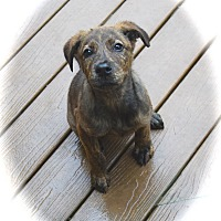 Adopt A Pet :: Topaz - Ijamsville, MD