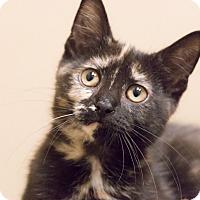 Adopt A Pet :: Georgie Girl - Chicago, IL