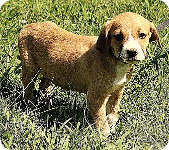 Boxer/Labrador Retriever Mix Puppy for adoption in Brattleboro, Vermont - Bode