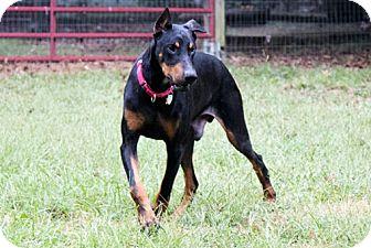 Doberman Pinscher Dog for adoption in Greensboro, North Carolina - CLETUS