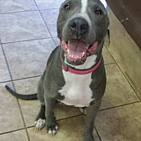 American Staffordshire Terrier Mix Dog for adoption in Houston, Texas - Lani