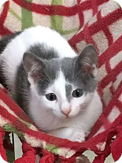 Domestic Shorthair Kitten for adoption in Columbia, Illinois - Hathor