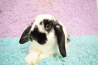 Lop, Holland Mix for adoption in Fountain Valley, California - Callie