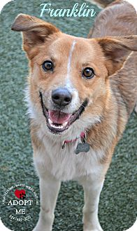 Sheltie, Shetland Sheepdog Mix Dog for adoption in Youngwood, Pennsylvania - Franklin