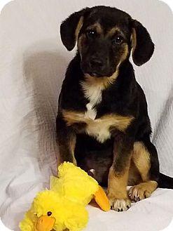 German Shepherd Dog Mix Puppy for adoption in Elkton, Maryland - Felix