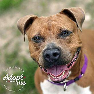 Pit Bull Terrier Mix Dog for adoption in Lyons, New York - Sadie