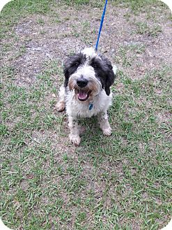 Poodle (Standard)/Tibetan Terrier Mix Dog for adoption in Osteen, Florida - Percy