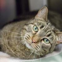 Domestic Shorthair/Domestic Shorthair Mix Cat for adoption in Independence, Missouri - Angel