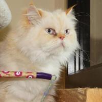Adopt A Pet :: Sir Reginald - Bellingham, WA