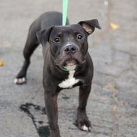 Adopt A Pet :: Dutch - Fresno CA, CA