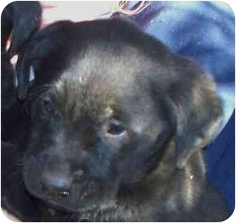 Labrador Retriever Puppy for adoption in Lexington, Missouri - Mason