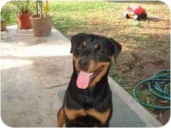 Rottweiler Dog for adoption in Alpine, California - Jett