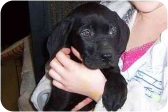 Labrador Retriever Mix Puppy for adoption in Taylor Mill, Kentucky - Prada