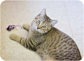 Domestic Shorthair Cat for adoption in Port Hope, Ontario - Bose