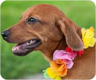 Dachshund Mix Puppy for adoption in Portsmouth, Rhode Island - Shirley-local!