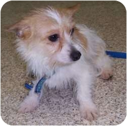Jack Russell Terrier/Yorkie, Yorkshire Terrier Mix Dog for adoption in Chambersburg, Pennsylvania - Bubblegum
