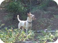 Australian Kelpie Mix Dog for adoption in Merritt, British Columbia - Tootsie