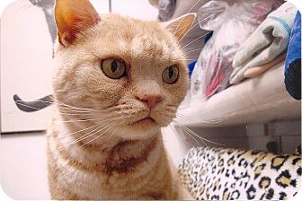 American Shorthair Cat for adoption in Davis, California - Rugby