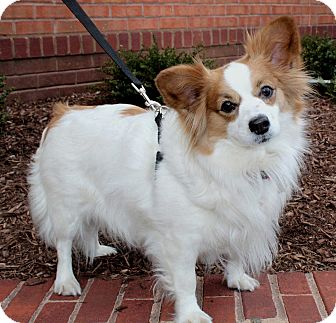 Papillon Dog for adoption in Salem, New Hampshire - BEBE