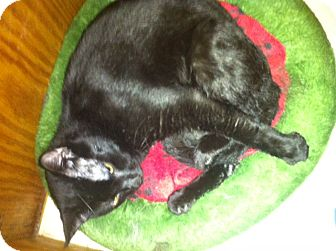 Domestic Shorthair Cat for adoption in Island Park, New York - Onyx
