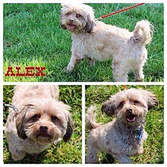 Shih Tzu/Poodle (Miniature) Mix Dog for adoption in Garden City, Michigan - Alex