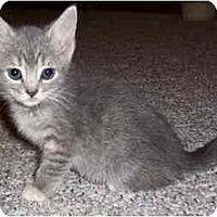 Adopt A Pet :: Female Kitten - Chicago, IL