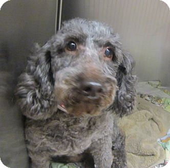 Poodle (Miniature) Dog for adoption in Oak Ridge, New Jersey - Fudge