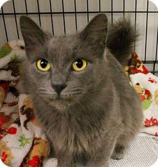 Domestic Longhair Cat for adoption in Huntingdon, Pennsylvania - Layla