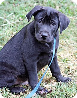 Labrador Retriever Mix Puppy for adoption in knoxville, Tennessee - MEATBALL
