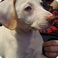 Adopt A Pet :: Blue-eyed Angel - Marlton, NJ
