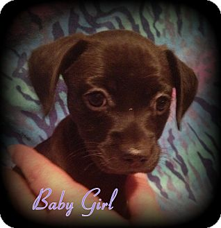 Boston Terrier/Terrier (Unknown Type, Small) Mix Puppy for adoption in Denver, North Carolina - Baby Girl