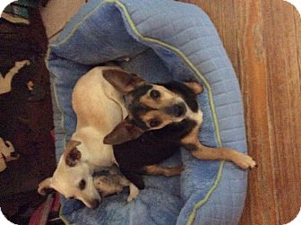 Chihuahua Dog for adoption in S. Pasedena, Florida - Mary Kate