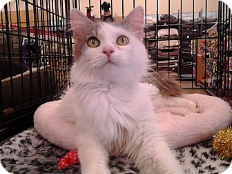 Domestic Longhair Cat for adoption in Richmond, Virginia - Stormy