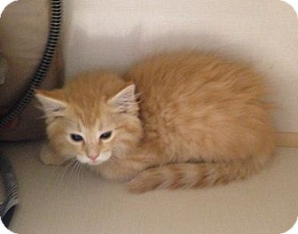 Domestic Mediumhair Kitten for adoption in Greensburg, Pennsylvania - Carstairs