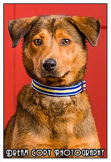 Shepherd (Unknown Type) Mix Dog for adoption in Owensboro, Kentucky - Homer