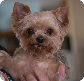 Yorkie, Yorkshire Terrier Dog for adoption in Sacramento, California - Tinka