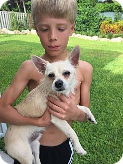 Chihuahua/Terrier (Unknown Type, Small) Mix Dog for adoption in Homestead, Florida - Rooney