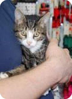 Domestic Shorthair Kitten for adoption in Brooklyn, New York - Gin